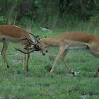 IMPALA AT PLAY by Larry Glick