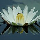 WATER LILY by Larry Glick