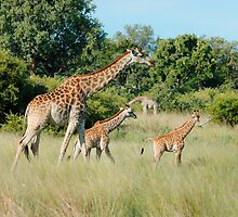 GIRAFFE FAMILY by Larry Glick
