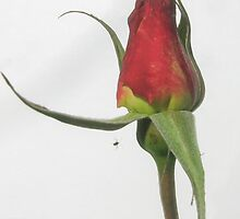 Rose bud with very little friend by DPalmer