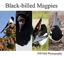 Black-billed Magpies by DWMMPhotography
