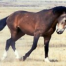 Wild Mustang of Utah by Judson Joyce