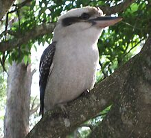 Kookaburra Up Close by AdrianMichael