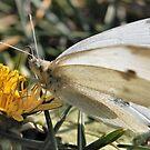 Butterfly Macro by BluAlien