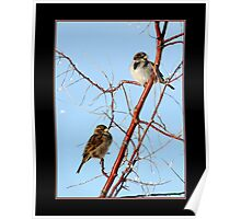 House Sparrow Pair Poster