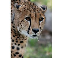 Curious Cheetah Photographic Print