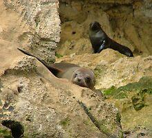 Seal @ Flinders Island SA by bombamermaid