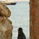 National Geo Sea Lion by Derek McMorrine