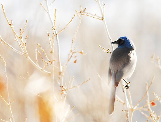 Scrub Jay in Weeds by Ryan Houston