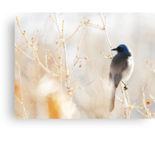 Scrub Jay in Weeds Canvas Print