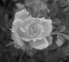 Rain Drops on Roses  by Auzriell