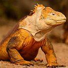 Yellow & Black Land Iguana by Derek McMorrine