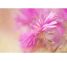 Dewy Pink Asters Photographic Print