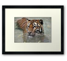 Swimming Tiger Framed Print
