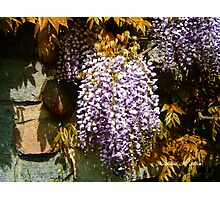 Wisteria Clinging Vine Photographic Print