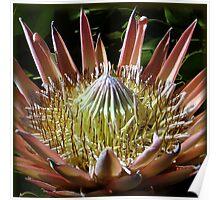 Pulchritudinous Protea Poster