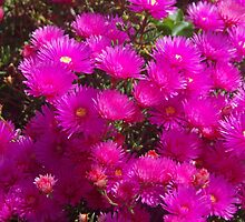 Pink Flowers from New Zealand by lezvee