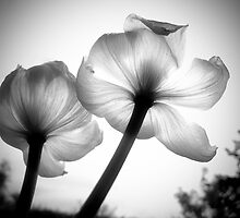 Translucent Tulips by Euan Craine