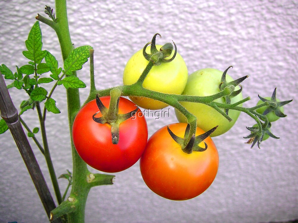 tomatoes growing in the sun by gothgirl