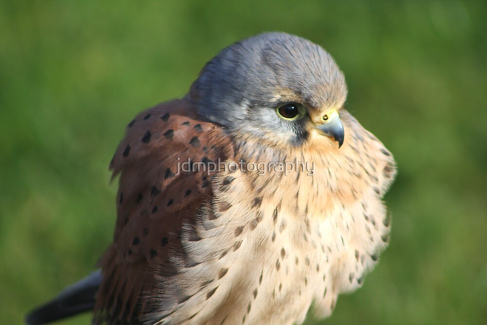 The Beautiful Kestrel by jdmphotography