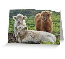 Highland Calves Greeting Card