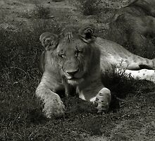 Lion of the Masai Mara by Gwen Wordingham