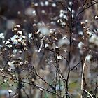 Winter Panicled Aster by Nalinne Jones