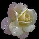 Porcelain rose by Nancy Polanski