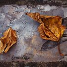 Withered on Slate by AnnieD