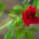 The one wasted red rose by Cvail73