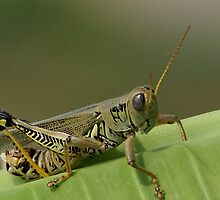 Common Grasshopper by Jim Caldwell