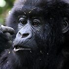 Juvenile Mountain Gorilla, Kwitonda Group, Rwanda, East Africa by Carole-Anne