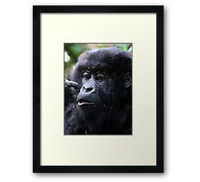 Juvenile Mountain Gorilla, Kwitonda Group, Rwanda, East Africa Framed Print