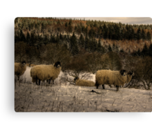 Are Ewe Cold?.... Canvas Print