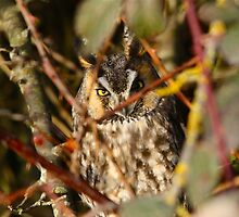 Long Eared Owl trying to sleep by RichImage