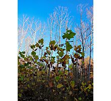 Sycamore Trees Photographic Print
