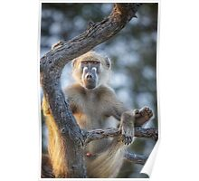 Too Laid Back – Adult Male Baboon Poster