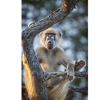 Too Laid Back – Adult Male Baboon Photographic Print