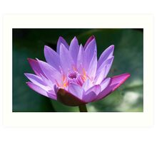 Lotus, solus, glistening in sunlight, India Art Print