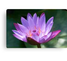 Lotus, solus, glistening in sunlight, India Canvas Print