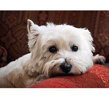 Molly the Westie Photographic Print