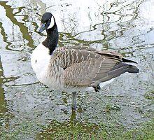 A Canada Goose Braves York's Flooded Park by AARDVARK