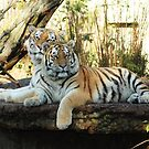Tiger Photo - Posing for the Camera by Martine Carlsen