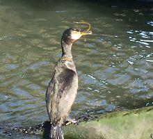Cormorant -v- Sandeels by pat oubridge