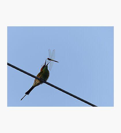 Got Ya!!! - Bee Eater - Dragon Fly - Thailand Photographic Print