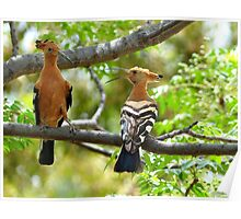 I'm King... NOT!!! - Hoopoe - South Africa Poster