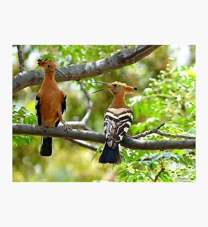 I'm King... NOT!!! - Hoopoe - South Africa Photographic Print