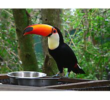 Toucan at the Feeding Station     127 Views Photographic Print