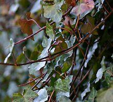 Ivy by Linda Eades Blackburn