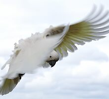 Sulphur crested cockatoo by hamish